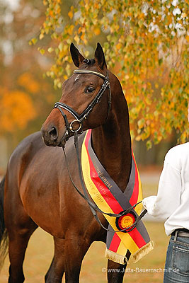 lauries crusader stallion